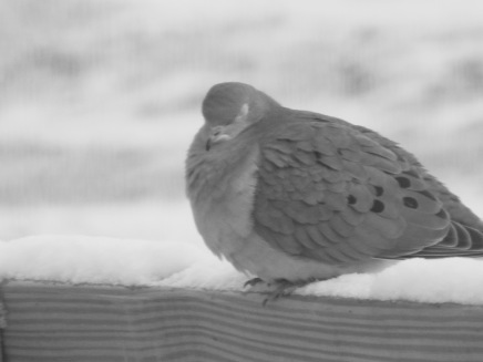 b&w mourning dove photo snow